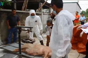 Dịch tả lợn Châu Phi: Dịch bệnh nguy hiểm hay quản lý yếu kém?