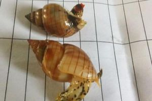 Điểm mặt những loại ốc biển gây nguy hiểm khi ăn