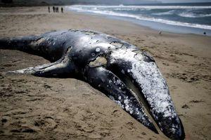 Cá voi xám khổng lồ chết nhiều kỷ lục, Mỹ hết đất chôn cất