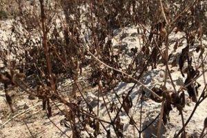 Khánh Hòa: Nắng rát da, cây chết cháy, nông dân mang ô ra đồng