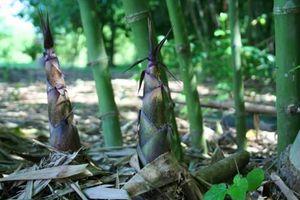 Ngỡ ngàng xem người dân 'hốt bạc' hàng trăm triệu từ trồng tre lấy măng