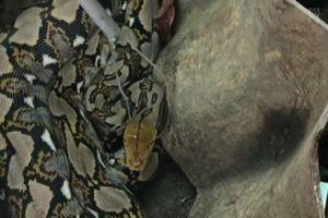 Trăn 'khủng' dài 4 mét bị tóm gọn sau khi nuốt thỏ