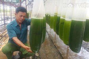 Nuôi thứ nước xanh lè mà lãi trăm triệu; Ốc 'của quý' 2,5 triệu đồng/kg bán đầy đường