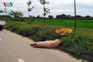 Phát hiện xác lợn chết nghi do dịch tả trên đường ở Huế