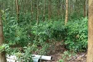 Tìm thấy thi thể kiểm lâm viên tại rừng keo ở Bình Định sau 5 ngày mất tích