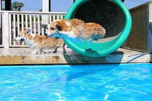 Công ty TQ chơi trội, bao trọn bể bơi 1.000m2 cho chó giảm mỡ