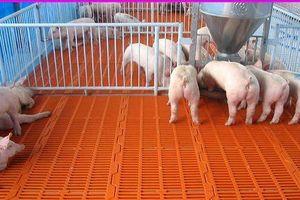 Nghiên cứu mới về loại thuốc chống bệnh dịch tả lợn châu Phi
