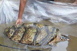 Bắt được rùa biển quý hiếm 34kg trên sông ở miền Tây