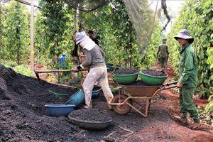 Chủ vườn chia sẻ bí quyết giúp hồ tiêu Gia Lai 'sống khỏe'