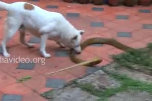 Thót tim xem chó nhà tử chiến với rắn hổ mang trâu lớn