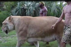 CLIP: 'Chúa sơn lâm' nặng hơn 300 kg sống chung với người