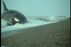 Clip: Cá voi sát thủ tung 'chiêu hiểm' đoạt mạng sư tử biển trong chớp mắt