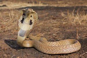 Mua bán rắn hổ mang chúa bị phạt tù hơn 5 năm