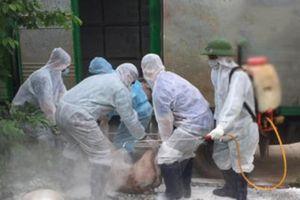 Phú Yên: phát hiện dịch tả lợn châu Phi đầu tiên