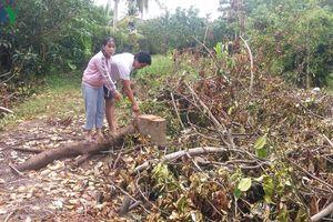 Chủ vắng nhà, trên 150 cây ăn quả đang ra trái bị người khác phá bỏ