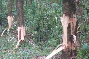 Huyện ủy Phong Điền sẽ làm rõ việc Chủ tịch xã bị tố chặt cây của dân