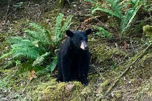 Gấu bị bắn chết vì 'được' nhiều người chụp ảnh selfie chung