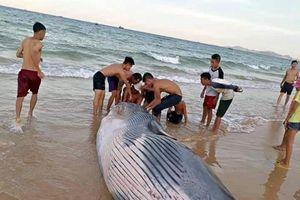 Chôn cất cá voi hơn 2 tấn dạt vào bờ biển