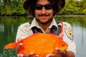 Bắt được cá vàng khủng dài hơn 35 cm