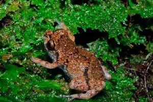 Phát hiện loài ếch 'tí hon' mới Diasporus tại Costa Rica