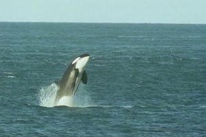 Khoảnh khắc cá voi sát thủ lao lên sát bờ nuốt gọn sư tử biển