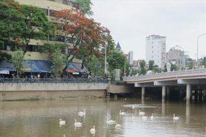 Hải Phòng tiếp tục thả thêm 30 con thiên nga vào hồ Tam Bạc