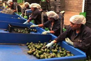 Hàng chục tấn 'vàng xanh' của Mexico bị cướp mỗi ngày