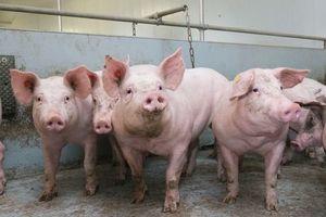 Phòng, chống dịch tả lợn châu Phi tại Mỹ Đức - Ứng Hòa: Lao đao vì hết quỹ dự phòng