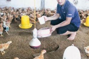 Thái Bình: Đàn lợn bị 'xóa sổ', nông dân liều mình nuôi gia cầm