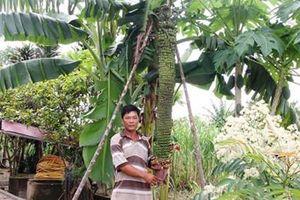 Buồng chuối khổng lồ 100 nải ở Lâm Đồng vẫn tiếp tục 'đẻ'