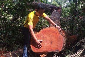 Bắt kẻ khai thác hơn 31m3 gỗ sau một tuần mật phục