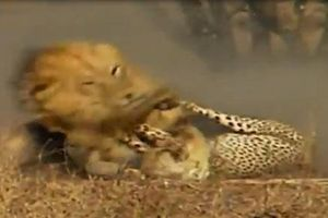 Báo đốm bỏ mạng trước sư tử vì không cảnh giác