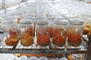 Ngân Đình Foods sản xuất và phân phối đông trùng hạ thảo chất lượng cao