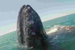 Cá voi xám hiền lành thích được 'nựng' như thú cưng