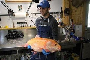 Bắt được cá vàng khổng lồ trăm tuổi cực hiếm