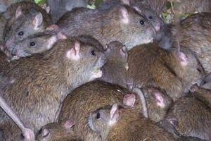 Phát khiếp chuột to như mèo rúc rích khắp thị trấn