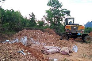 Dịch tả lợn châu Phi lan rộng ở Quảng Bình