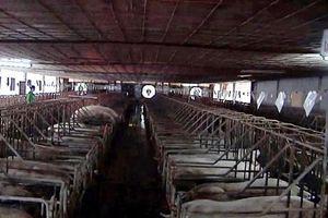Thái Lan cấm nhập khẩu thịt lợn từ Lào do dịch tả lợn châu Phi
