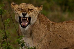 Kinh hoàng thiếu nữ 22 tuổi bị sư tử vồ đến chết