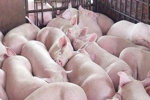 Miền Nam chuyển lợn hơn ra miền Bắc, giá tiếp tục giảm