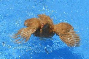Chuyện gì sẽ xảy ra nếu thả một chú gà xuống nước?