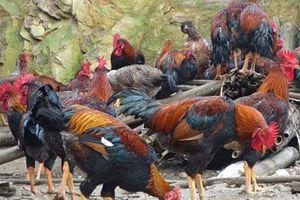 U70 xứ Lạng nuôi gà 'chân dài' thu 500 triệu/năm