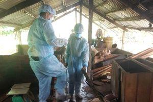 Cần Thơ tiêu hủy hơn 7.700 con heo sau một tháng dịch tả
