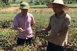 Nghệ An: Nóng 41 độ, dân kêu cứu vì hàng trăm ha chè chết cháy