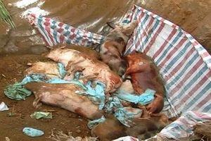 Dịch tả lợn châu Phi xuất hiện tại Bà Rịa-Vũng Tàu