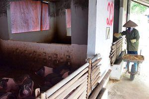 Quảng Ninh loay hoay bảo tồn giống lợn quý