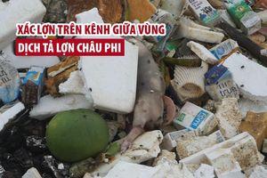 Xác lợn trôi lềnh bềnh trên kênh giữa vùng dịch tả lợn châu Phi ở Thanh Hóa