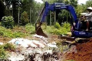 Ghi nhận ổ dịch tả lợn châu Phi tại trại nuôi 20.000 con