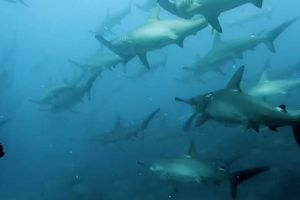 Hàng trăm cá mập đầu búa 'mắc kẹt' trong dòng nước mạnh