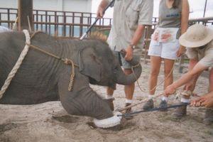 Trói chân, giật điện và các bước biến voi con thành nghệ sĩ xiếc